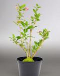 Plant de goji bio Himalaya