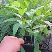 Plant de graviola corossol en pot