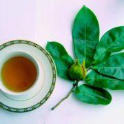 La feuille de graviola corossol anticancer naturel puissant