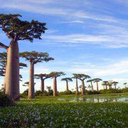 arbre-baobab-bio-feuilles-lalo