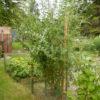arbre-plant-de-goji-bio-ouibio-biologiquement-agoji-culture-jardin-pot-1