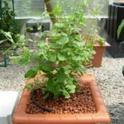arbre-plant-de-goji-bio-ouibio-biologiquement-agoji-culture-jardin-pot-2