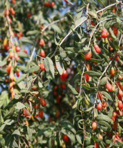 Plante de goji bio Himalaya de la culture de Biologiquement