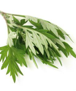 Artemisia annua Armoise annuelle