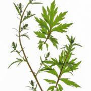 armoise-annuelle-artemisinine-plante-anti-cancer-artemisia-annua-biologiquement-1