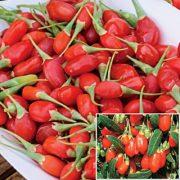 baie-de-goji-plante-arbre-arbuste-goji-en-pot-lycium-barbarum-fruit-fleur-biologique-agoji-david-hervy-biologiquement-plant