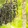 baies-acai-biologique-fruit-bresil-biologiquement