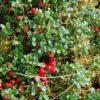 baies-cranberry-bio-canneberge-cranberries-biologiquement-david-hervy-5
