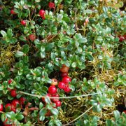 baies-cranberry-bio-canneberge-cranberries-biologiquement-david-hervy-5