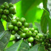 cafe-vert-bio-regime-antioxydant-naturel-minceur-brule-graisse-maigrir-vertus-proprietes-david-hervy-biologiquement-neil-4