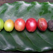 cafe-vert-bio-regime-antioxydant-naturel-minceur-brule-graisse-maigrir-vertus-proprietes-david-hervy-biologiquement-neil-6