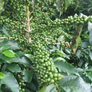 cafe-vert-bio-regime-antioxydant-naturel-minceur-brule-graisse-maigrir-vertus-proprietes-david-hervy-biologiquement-neil-7