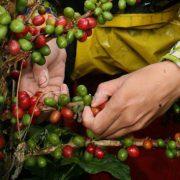 cafe-vert-bio-regime-antioxydant-naturel-minceur-brule-graisse-maigrir-vertus-proprietes-david-hervy-biologiquement-neil-8