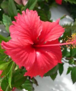 Fleur d'Hibiscus bio