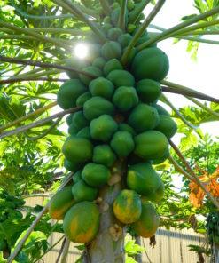 Le papayer