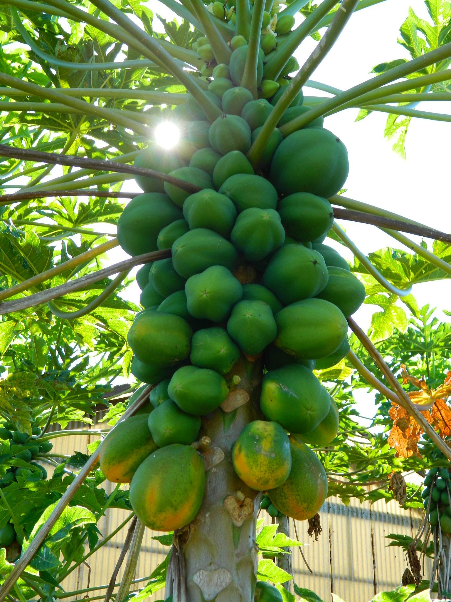 graines de fruit de papaye s ch es laboratoire biologiquement. Black Bedroom Furniture Sets. Home Design Ideas