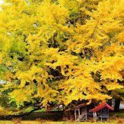 ginkgo-biloba-bio-naturel-arbre-fruit-feuille-gelules-poudre-biologiquement-2