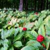 ginseng-rouge-bio-7