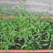 Plants de Goji bio Himalaya produit par Biologiquement
