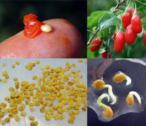 Les graines de Goji bio Himalaya produit par Biologiquement