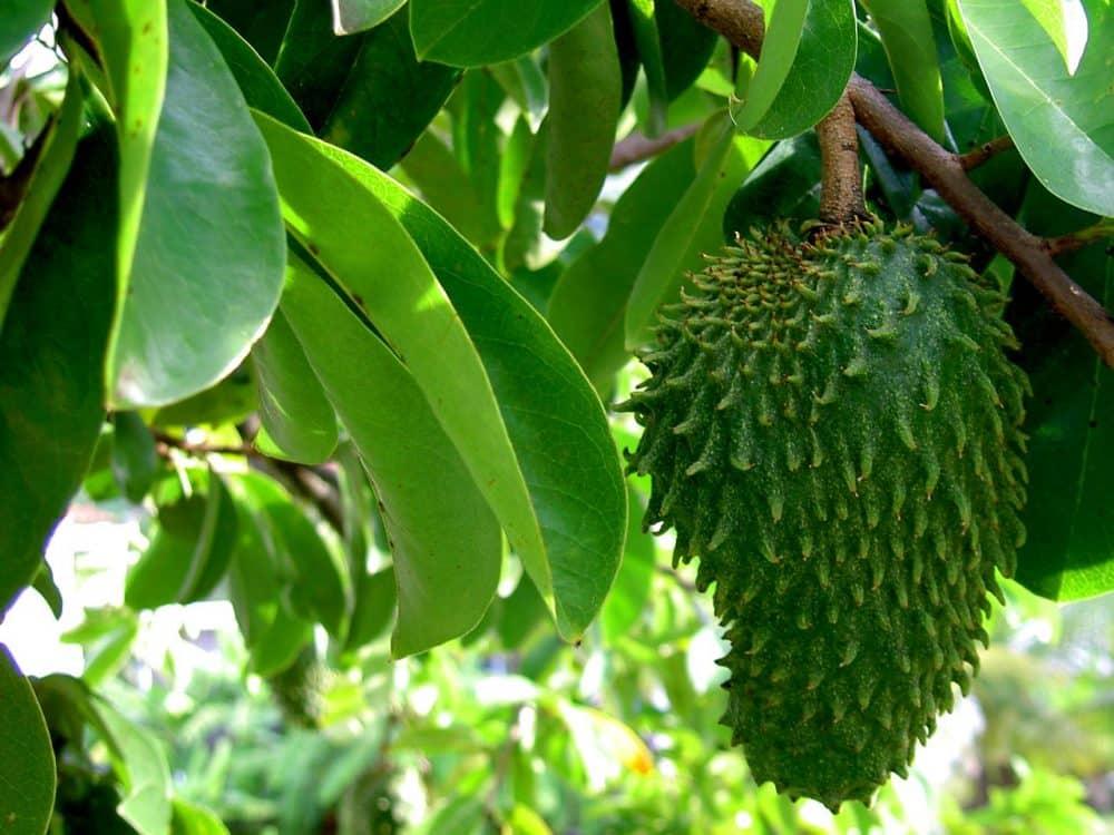 Le fruit du graviola corossol et ça feuille anti cancer naturel