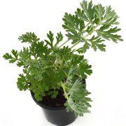plantes-artemisia-annua-armoise-anuelle-biologiquement-cancer-hervy-vy-david