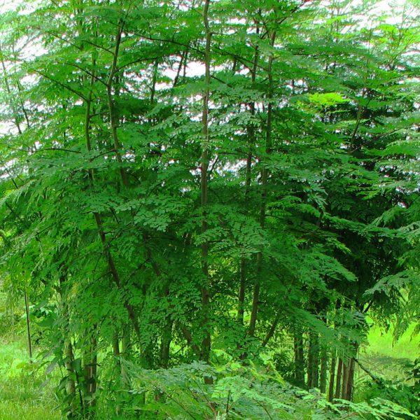 L'arbre de Moringa bio produit par Biologiquement