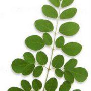 La feuille de Moringa bio produite par Biologiquement