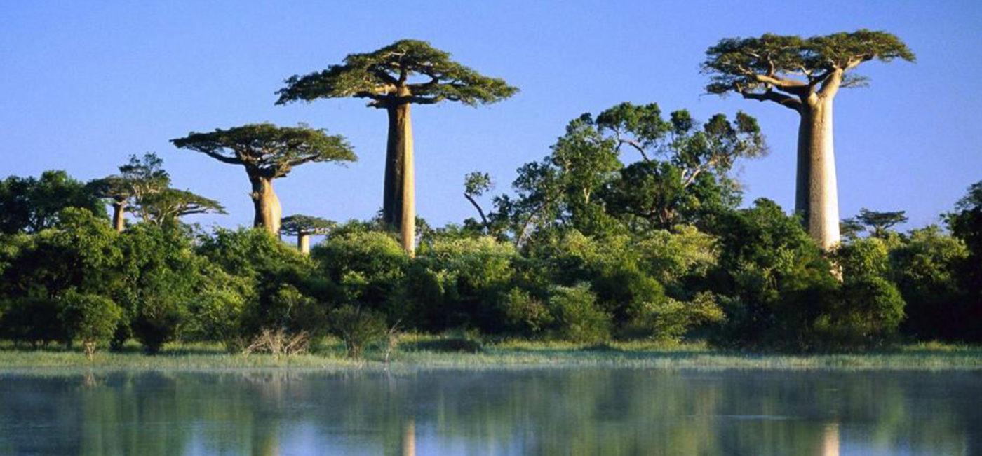 L'arbre de Baobab bio