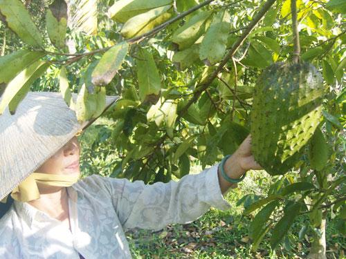 Récolte du graviola corossol, production de Biologiquement au Vietnam