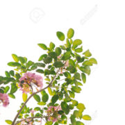 Pink Trumpet flower and green leaves on tree isolate on white ba
