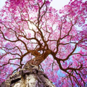 plante-ecorce-lapacho-pau-arco-bio-anti-cancer-biologiquement-david-hervy (5)
