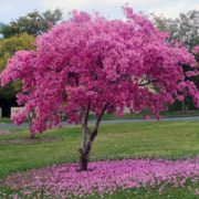 plante-ecorce-lapacho-pau-arco-bio-anti-cancer-biologiquement-david-hervy (6)