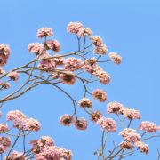 plante-ecorce-lapacho-pau-arco-bio-anti-cancer-biologiquement-david-hervy (7)