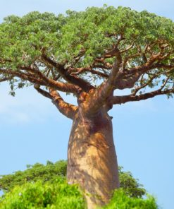 Baobab Baomix bio