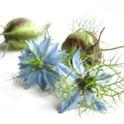 La graines de Nigelle bio nigella sativa plante pour le traitement anti-cancer naturel puissant