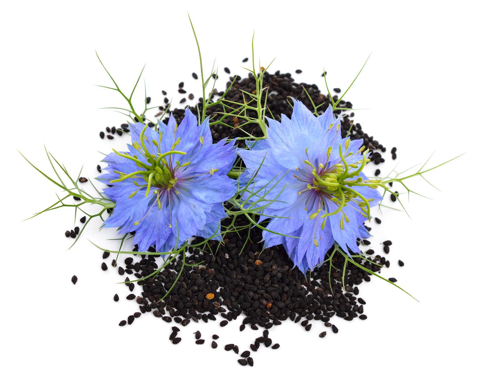 la graines de nigelle bio plante pour le traitement anti