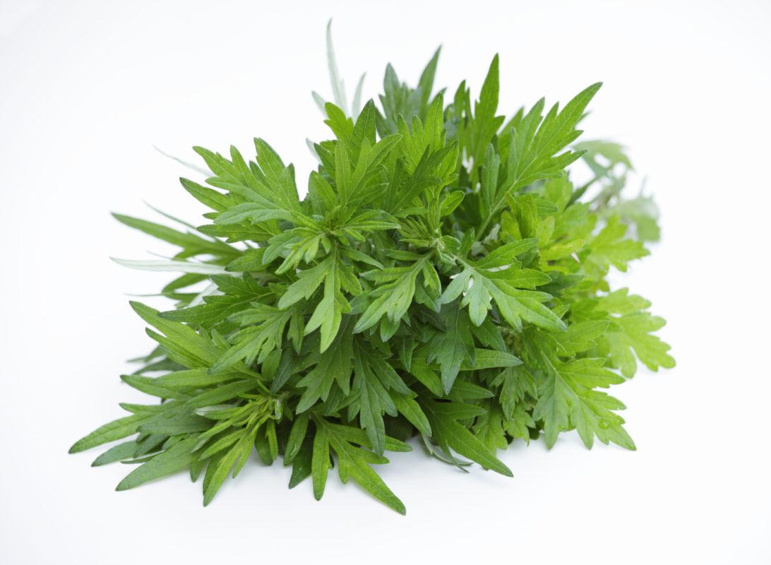Armoise annuelle Artemisia annua anti cancer anti paludique naturel puissant